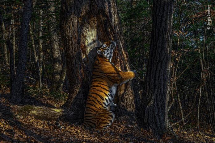 Fotografia anului 2020. Poza cu un tigru care imbratiseaza un copac a castigat concursul