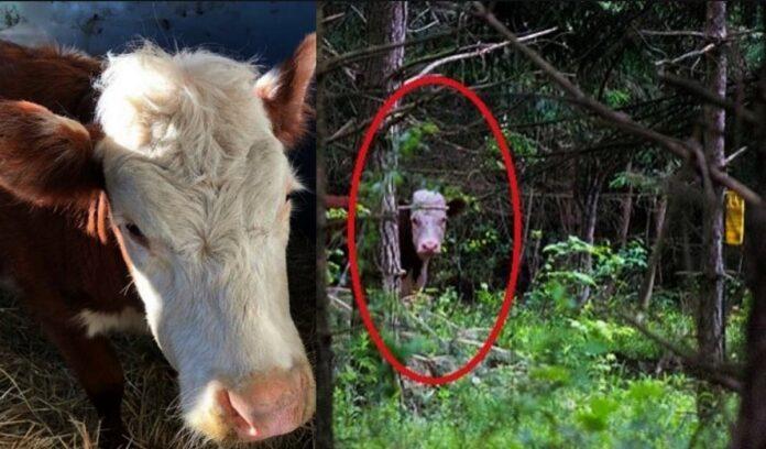 Povestea lui Bonnie, vaca ce a trait in padure cu o turma de cerbi pentru un an